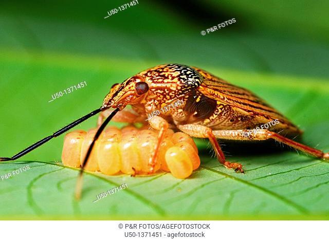 Female of stink bug Pentatomidae, Heteroptera taking care of her eggs, Acre, Brazil, 2009      inseto com 1 cm de compromento