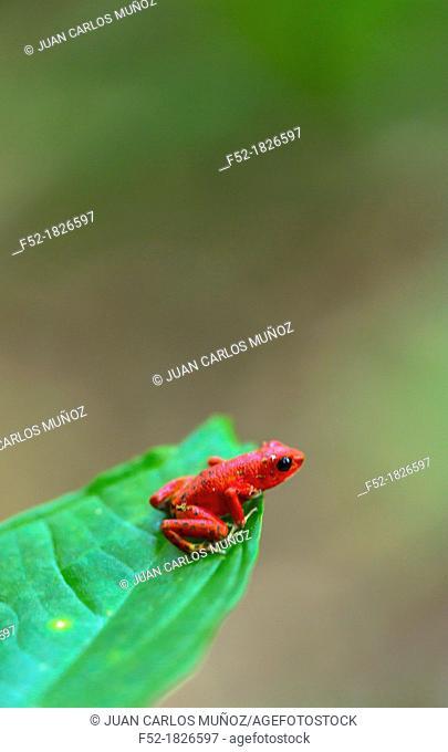 Red frog, Oophaga pumilio, Bastimentos Island, Bocas del Toro Archipelago, Bocas del Toro Province, Panama, Central America, America