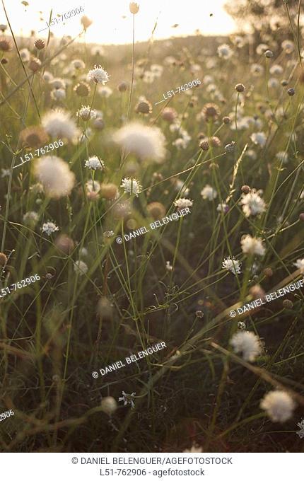Field with flowers in Puertomingalvo, Sierra de Gudar, Teruel, Aragón,Spain, Europe