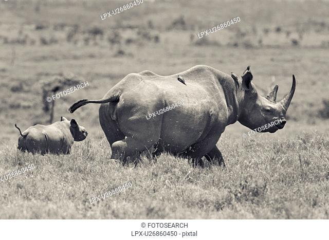 Desaturated image of adult female rhino running as seen from the side, with very young baby behind her, and oxpeckers on her back, Lewa Downs, Kenya
