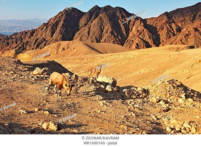 The wild goats in mountains of Eilat