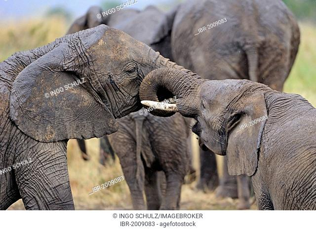 Juvenile African Bush Elephants (Loxodonta africana) testing their strength, Masai Mara, Kenya, East Africa, Africa