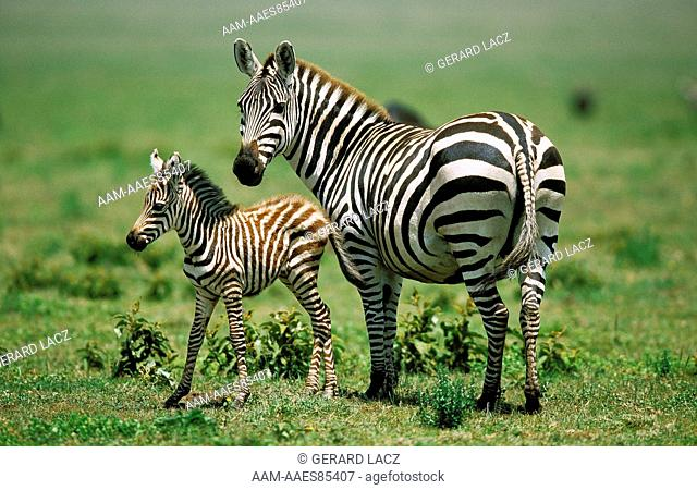 Burchell'S Zebra Equus Burchelli, Female With Foal, Kenya