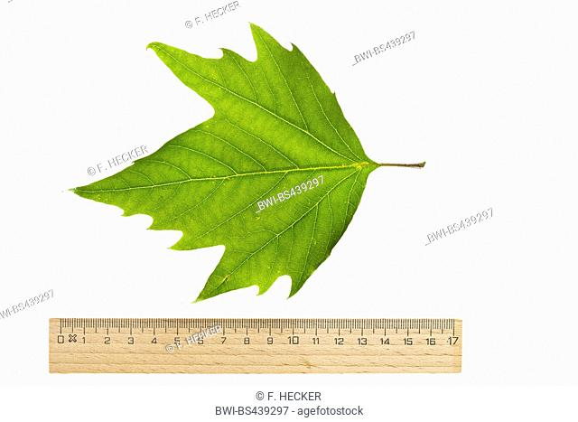 lacewood, Oriental plane (Platanus orientalis), single plane leaf, cutout, with ruler