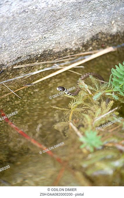 Grass snake Natrix natrix in shallow water
