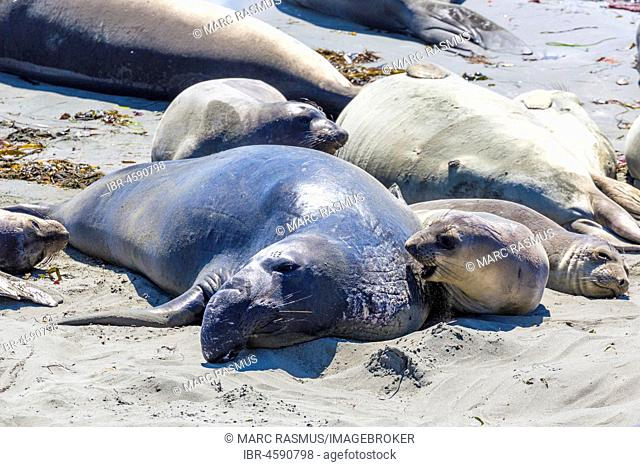 Northern Elephant Seals (Mirounga angustirostris), dam with kitten on the beach, near San Simeon, California, USA