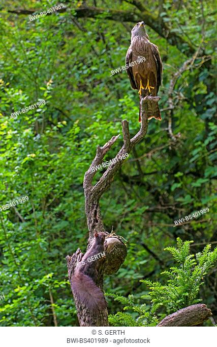 Black kite, Yellow-billed kite (Milvus migrans), black kite and red squirrel together on the same branch, Switzerland, Sankt Gallen, Rheineck