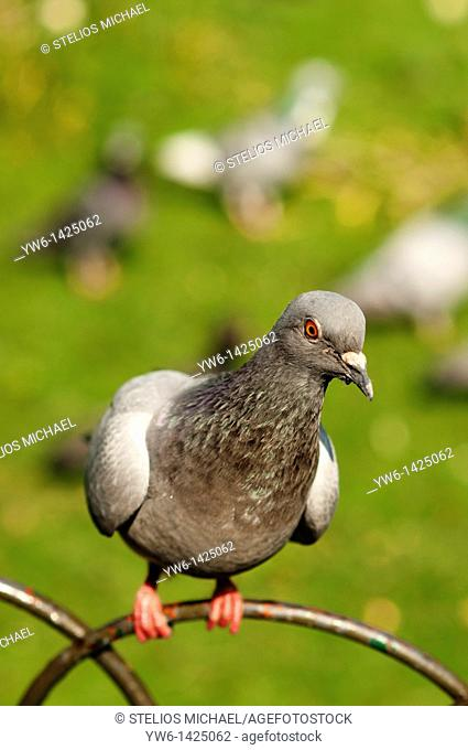 Pigeon on a metal fence,London,England