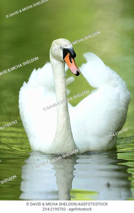 Close-up of a mute swan (cygnus olor) swimming on a little lake in spring