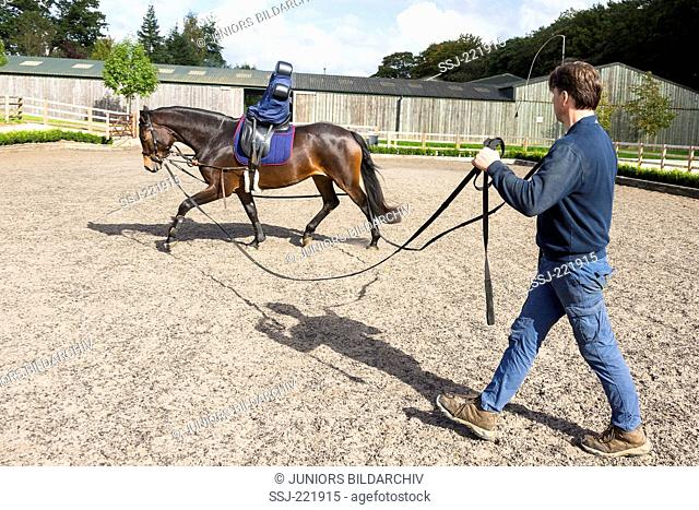 Oldenburg Horse, Training a juvenile mare with the help of double lungeing rein and riding dummy. Great Britain