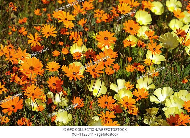 Ursinia cakilefolia daisies together with Grielum humifosum in the Goegap Nature Reserve, Namaqualand, South Africa