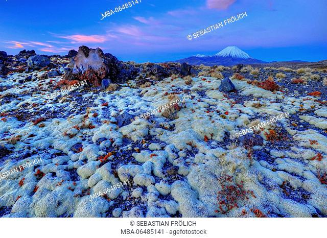 thick lichen carpet and big magma lump in the Tongariro national park, in the background the cone of the Mt. Ngauruhoe volcano during a magnificent sundown...