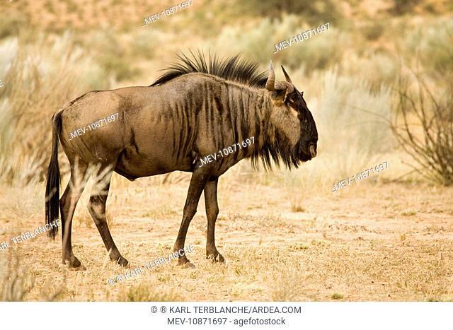 Blue Wildebeest - Foraging among Kalahari Shrub (Connochaetes taurinus). Kgalagadi Transfrontier Park - South Africa - Botswana - Africa