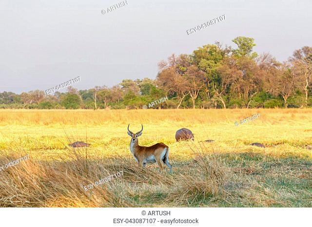 antelope lechwe (Kobus leche), or southern lechwe, Caprivi strip game park, Nambwa Namibia, Africa safari wildlife