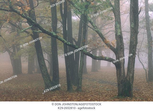 Lichen-coated trees in fog, Shenandoah NP, VA, USA