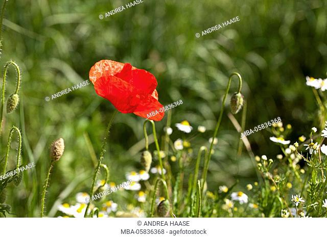 poppy blossoms