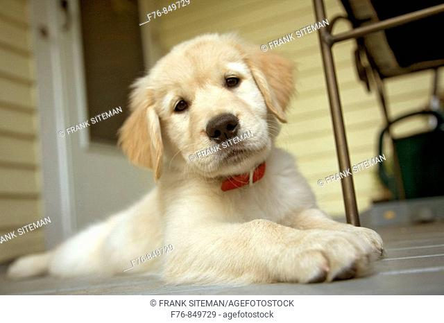 Portrait of a twelve week old golden retriever puppy