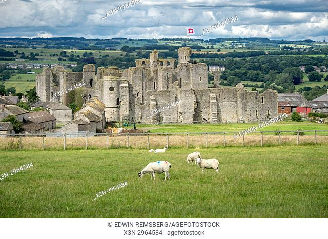 Herd of sheep graze on hill in front of historic Middleham Castle, Wensleydale, in the county of North Yorkshire, England