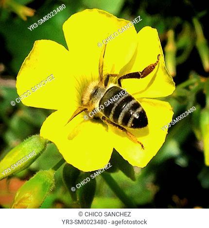 A honey bee licks from a yellow flower in Prado del Rey, Sierra de Cadiz, Andalusia, Spain