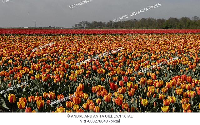 Tulip fields in Holland, dolly shot over redand yellow tulips