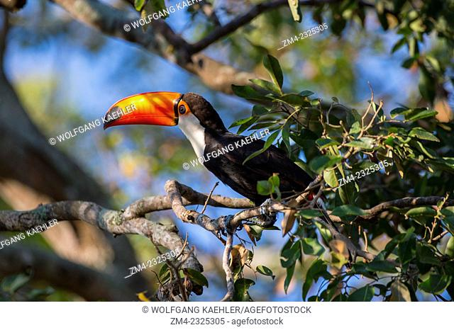 A Toco toucan (Ramphastos toco) is searching for fruit in a tree at Porto Jofre in the northern Pantanal, Mato Grosso province in Brazil