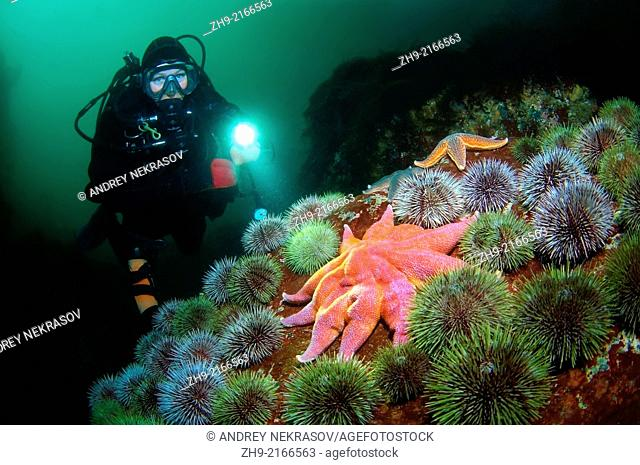 Green sea urchin, starfish (solaster endeca), Arctic, Russia, Barents sea