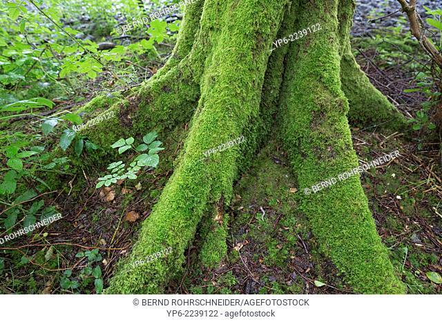 old mossy tree, Inchmahome Priory, near Aberfoyle, Scotland