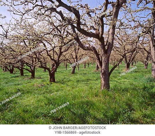 Fruit orchard in bloom, near Mosier, Columbia River Gorge National Scenic Area, northern Oregon, USA