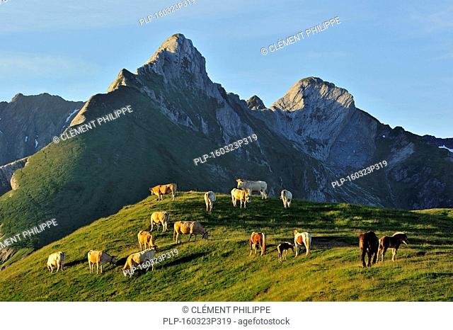 Domestic cows (Bos taurus) and free roaming horses in the Pyrénées-Atlantiques, Pyrenees, France