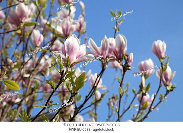 Magnolia soulangeana. Close up of tulip-like white flowers flushed pink at the base against blue sky
