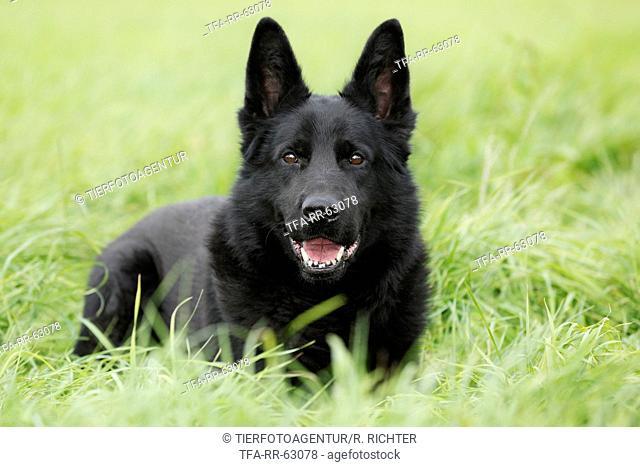 lying German Shepherd
