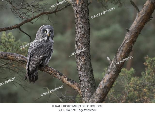 Great Grey Owl ( Strix nebulosa ) perching in a pine tree, watching back of its shoulder, backside view, in typical surrounding