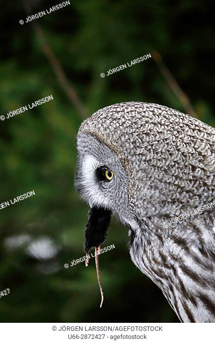 Great grey owl (Strix nebulosa) eating mouse on green background, Sweden
