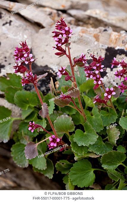 James' Saxifrage Telesonix jamesii flowering, growing amongst rocks, Grand Teton N P , Wyoming, U S A