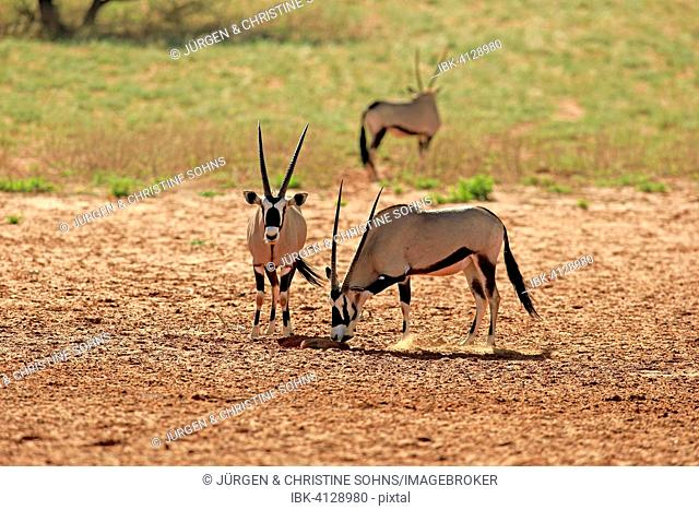 Gemsboks (Oryx gazella), adult pair, Tswalu Game Reserve, Kalahari Desert, North Cape, South Africa