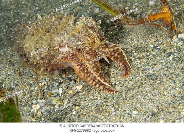 Cuttlefish, Sepia, Ssepia officinalis, Cabo Cope-Puntas del Calnegre Natural Park, Mediterranean Sea, Region de Murcia, Murcia, Spain, Europe