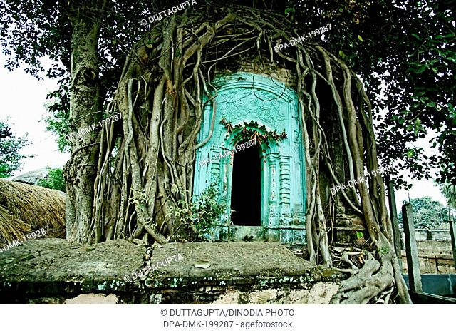banyan tree, dhalla village, birbhum, west bengal, Asia, India