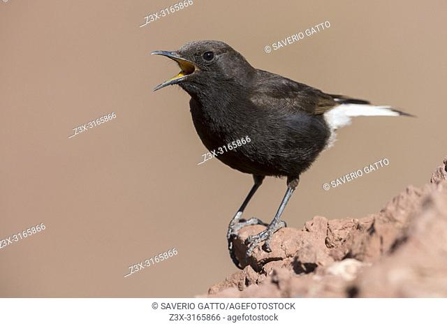 Black Wheater (Oenanthe leucura syenitica), male singing from a rock in Morocco