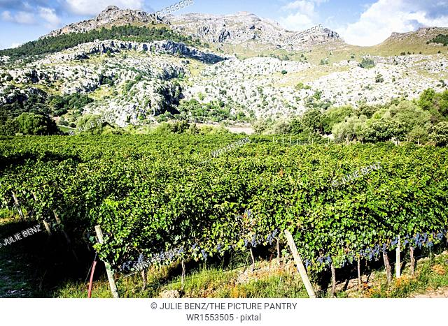 Cabernet grapes growing on vine, Tramuntana Mountains, Mallorca