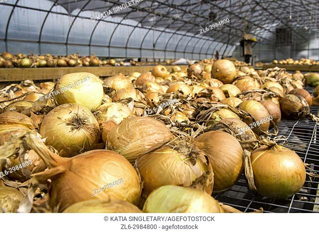 Onions in bulk, red and yellow, laying in an onion farm, in Virginia, Usa