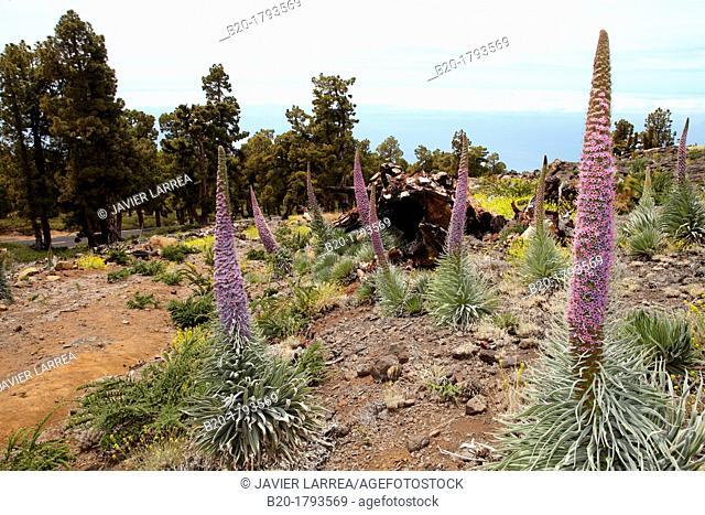 Echium wildpretii, Tajinaste, Caldera de Taburiente National Park, La Palma, Canary Islands, Spain