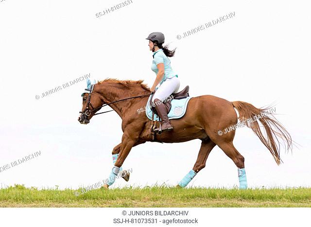 Bavarian Warmblood. Rider galloping on a chestnut gelding across a meadow. Germany