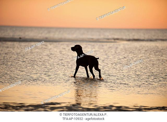 bathing German shorthaired Pointer