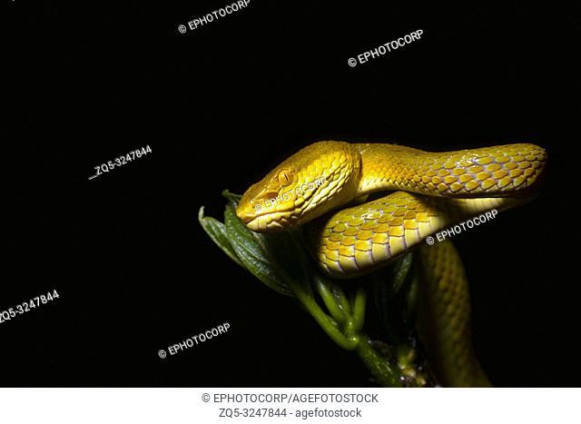 Bamboo Pit Viper, Yellow Morph, Trimeresurus gramineus, Amboli, Sindhudurg, Maharashtra, India