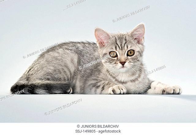 British Shorthair cat - kitten 13 weeks - cut out restrictions: Tierratgebebücher, Kalender / animal guidebooks, calendars