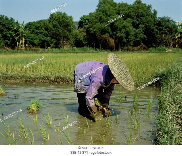 Side profile of a woman planting rice in a paddy field, Thailand