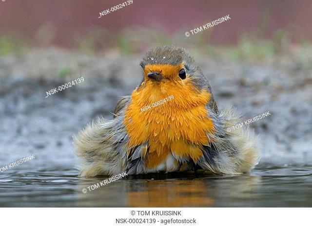 Bathing European Robin (Erithacus rubecula), the Netherlands, Overijsssel, Lemele, Lemelerberg