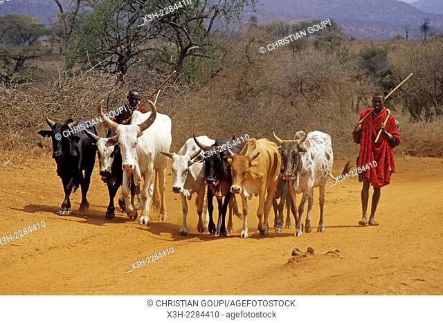 Maasai herdmen and cattle on track in the bush around Namanga, Kenya, East Africa