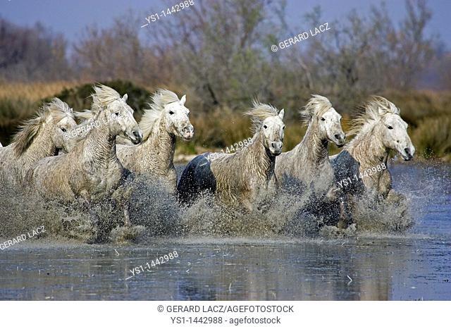 CAMARGUE HORSE, HERD STANDING IN SWAMP, SAINTES MARIE DE LA MER IN SOUTH OF FRANCE