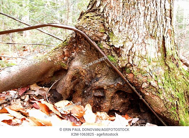 Artifact from a logging camp of the Swift River Railroad in the Oliverian Brook valley of Albany, New Hampshire USA. This was a logging railroad in operation...